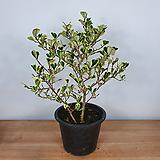 스윗하트 / 고무나무 / 사진상품발송|Ficus elastica