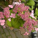 산수국(대품0-15센티포트 Hydrangea macrophylla