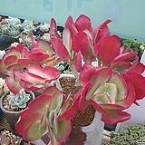 당인금자연군생|Kalanchoe thysifolia