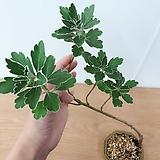 해국 묵은주(외목수형과 잎의 무늬가 너무 예쁜)수제분세트/분갈이/마사 Handmade Flower pot