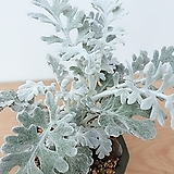 백묘국(신비로운 은녹색의 아름다움)수제분세트/분갈이/마사 Handmade Flower pot