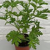 ♥구몬초 모기퇴치식물|