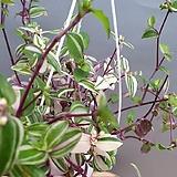 카멜레온채송화 채송화 공기정화식물