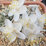 Avonia quinaria ssp 'Alstonii'