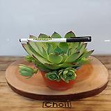 호랑이발톱바위솔1포트(10cm)|Sempervivum hawouthii