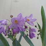 루비버들 꽃대