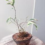별빛벤자민 수제분 완성분(잎의 무늬가 수려하며 수형 귀욤)분갈이/마사/화산석 Handmade Flower pot