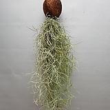 코코넛수염틸란드시아(미세먼지제거식물)  높이 약40정도
