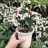 덴드롱(공기정화식물)|