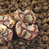 C.Pellucidumssp.terricolor (테리칼라)4두|