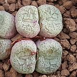 Conophytum piluliforme ssp(필러리포르미)|