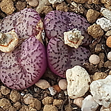 Conophytum obcordellum ssp(오브코델륨)|