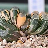 하월시아 옥선금|haworthia