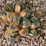 하월시아 만상금 hyb|haworthia