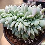 성영철화.|Echeveria elegans Potosina