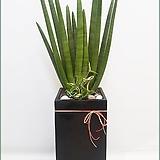 스투키 모주 개업화분 공기정화식물 미세먼지 전자파차단 플랜테리어 실내인테리어 식물|Sansevieria Stuckyi