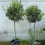 토피어리 올리브나무|