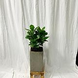 공기정화식물 크루시아 중형화분|Echeveria Lucy