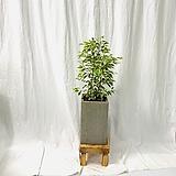 공기정화식물 무늬벤자민 완성화분|