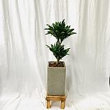 공기정화식물 드레세나 콤펙타|