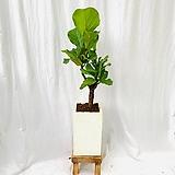 공기정화식물 떡갈고무나무 중형 고급테라조화분|Ficus elastica