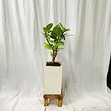 공기정화식물 뱅갈고무나무 중형완성화분|Ficus elastica