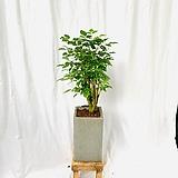 실내공기정화식물 녹보수 중형화분|happy tree