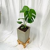 공기정화식물 몬스테라 중형 완성화분|