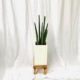 공기정화식물 스투키 초록이 중형완성화분|Sansevieria Stuckyi