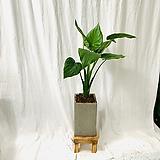 공기정화식물 하트알로카시아 중형화분|Alocasia