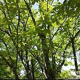 두충나무(나무씨앗).50립|