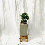 공기정화식물 피어리스중형 완성화분|
