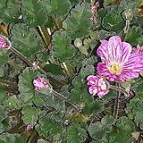 큰꽃풍로초