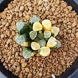 하월시아 만상금|haworthia