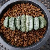 하월시아 옥선 백설|haworthia