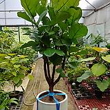 떡갈고무나무-미세먼지탁월특대분갈이|Ficus elastica
