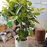 뱅갈고무나무-미세먼지탁월특대분갈이|Ficus elastica
