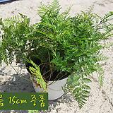 후마타 (넉줄고사리/포름알데히드제거 실내공기정화) 지름 15cm 중품 관엽화분|