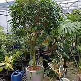 원종벤자민나무-미세먼지탁월특대분갈이|