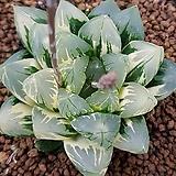 하월시아 화수정금|haworthia