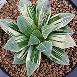 하월시아 히마와리금|Haworthia pygmaea