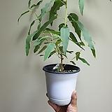 레몬유칼립투스중품반려식물5080990050|