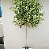키큰올리브나무 (특대품)|