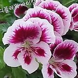 糖果플라워(Geranium)