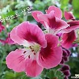 아리스토살몬(Geranium)