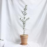중형 올리브나무 이태리 토분 완성품|