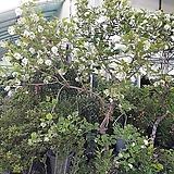 불두화(특대품) 목수국|Hydrangea macrophylla