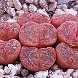 코노피튬군생|Conophytum