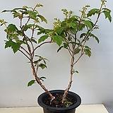 겹떡갈잎수국.단품|Hydrangea macrophylla