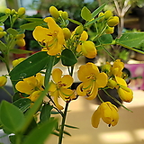 [재입고]황호접(꽃모양이 노랑나비모양을 닮은 야생화 꽃~)|